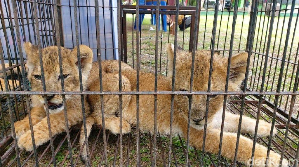 Polda Riau Tangkap Pelaku Perdagangan Anak Singa-Leopard