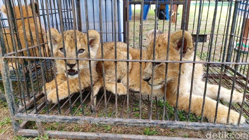 Kapolda Riau: Singa dan Leopard Dihargai Rp 450 Juta