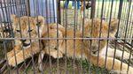 Lucunya Anak-anak Singa yang Diamankan Polda Riau
