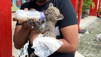Anak Singa-Leopard Diselundupkan untuk Jadi Peliharaan Orang Tertentu