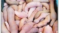 Soal Ikan Penis: Gegerkan California hingga Mukbang YouTuber Korea