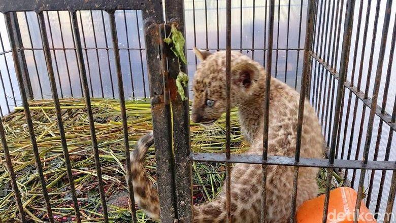 Polda Riau membongkar sindikat perdagangan satwa liar. Barang bukti ada anak singa dan macan tutul.