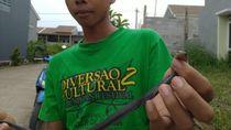 Satu Ular Kobra di Perumahan Citayam Bogor Ditemukan Seorang Bocah