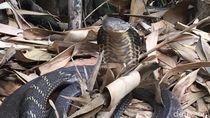 Ular Kobra Kini Muncul di Tabanan Bali