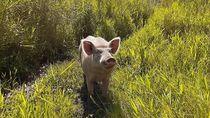 Mengapa Jika Menabrak Babi di Papua Harus Bayar Mahal?