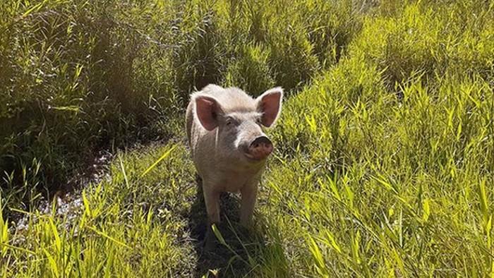 Babi di Papua