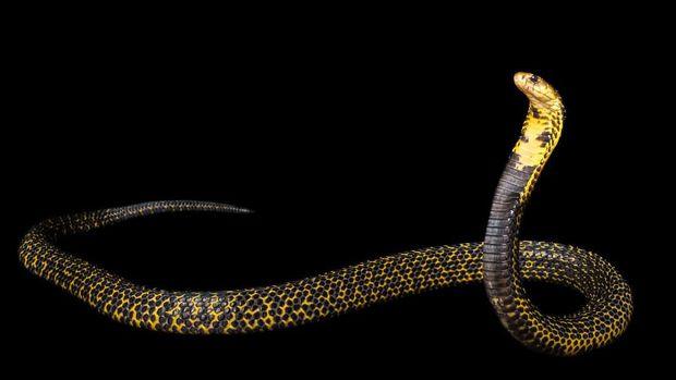 10 Ular Kobra Paling Berbisa di Dunia