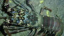 Edhy Prabowo: Ada Masyarakat Lapar Karena Pelarangan Bibit Lobster
