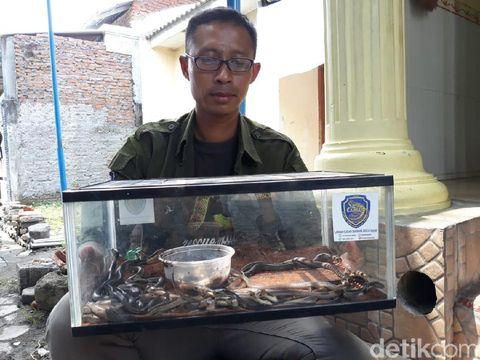 Geger 31 Ular Kobra 'Sembunyi' di Tumpukan Karpet Masjid Sukoharjo