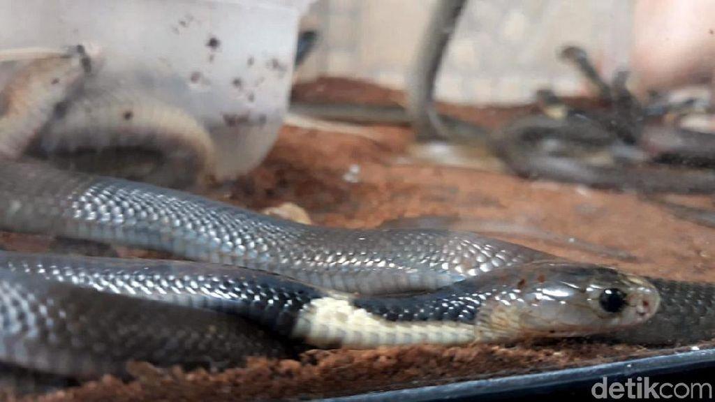 Ular Kobra Disebut-sebut Kemungkinan Sumber Virus Corona Baru di China