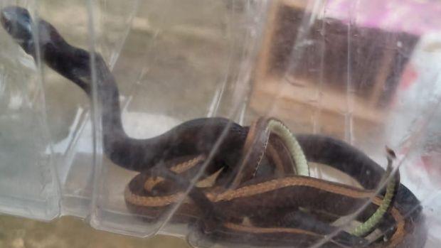 2 Ekor Ular Ditemukan di Rumah Ustaz Syarif di Depok