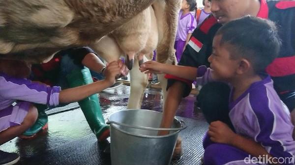 Anak-anak juga bisa diajari cara memerah susu sapi, memasak susu hingga pengenalan tentang bio gas. Segala seluk beluk tentang peternakan sapi juga dijelaskan di sini. (Adhar Muttaqin/detikcom)