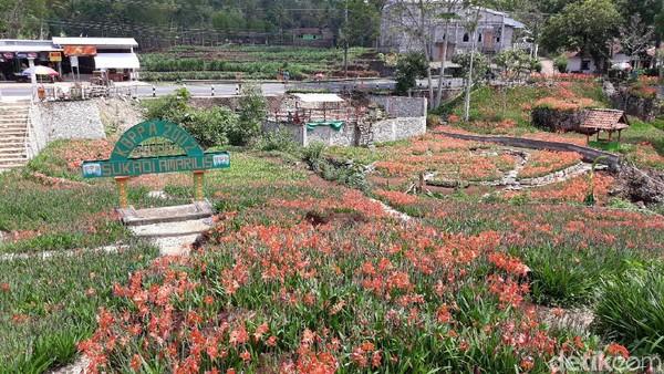 Jelang masa liburan akhir tahun, jumlah pengunjung di kebun bunga Amarilis Gunungkidul justru turun 50%. Ada beberapa faktor yang mempengaruhi hal ini (Pradito/detikcom)