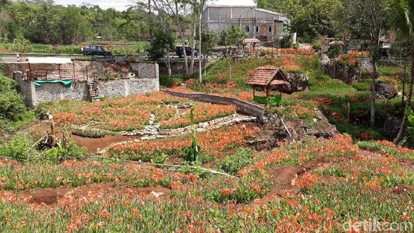 Kebun bunga amarilis ini tampak layu. Mekarnya pun tidak bersamaan. Awal mekarnya pada awal Desember, tapi hanya bertahan belasan hari saja (Pradito/detikcom)