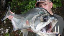 Ikan Vampir: Punya Tampang Seram, Giginya Runcing dan Panjang