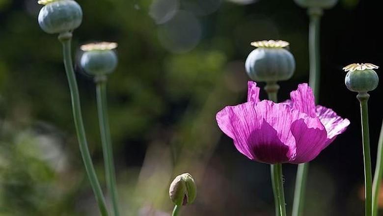 mie dengan campuran opium