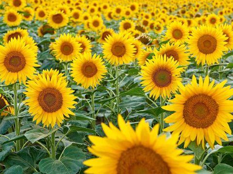 Sunflower farm.