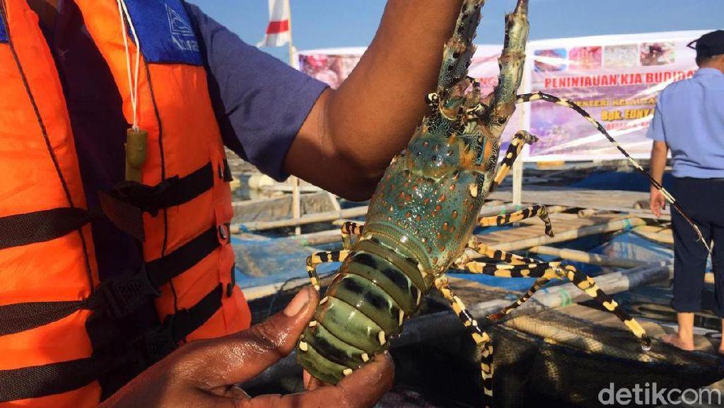Begini Aturan Pengelolaan Budidaya Lobster Berkelanjutan