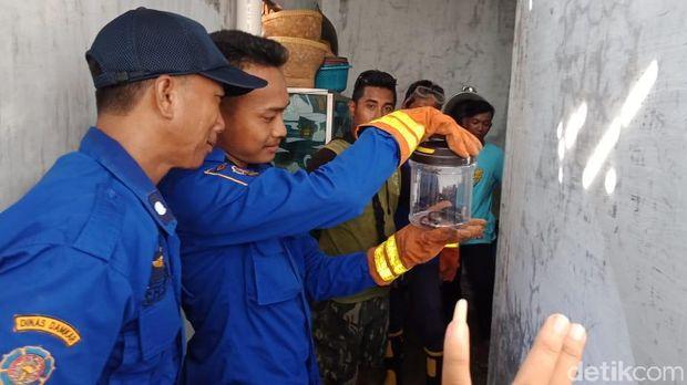 Induk Kobra 1,5 Meter dan Lima Anakan Teror Rumah Warga Brebes