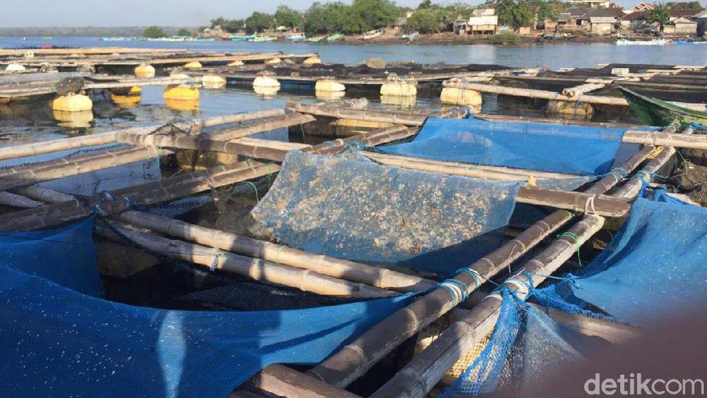 Buka Tutup Ekspor Benih Lobster: Antara Susi, Edhy dan Trenggono