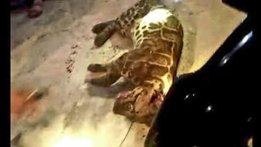Kerap Mangsa Ternak, Macan Dahan Ditembak Warga di Jambi