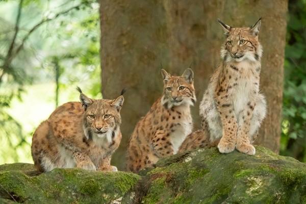 Iberian lynx. Demikian nama jenis kucing yang jenggotan itu. Jenisnya sih bukan kucing domestik yang biasa kita kenal karena mamalia ini merupakan kucing hutan. Nama latinnya Lynx Pardinus. (iStock)