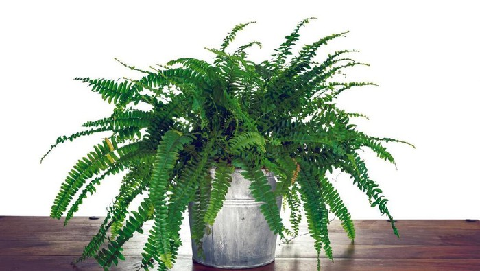 Studio photo shoot of a Nephrolepis exaltata Boston fern, on a white background with copy space.