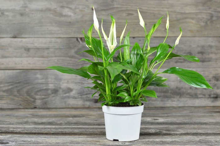 Spathe flower in flowerpot on wooden background