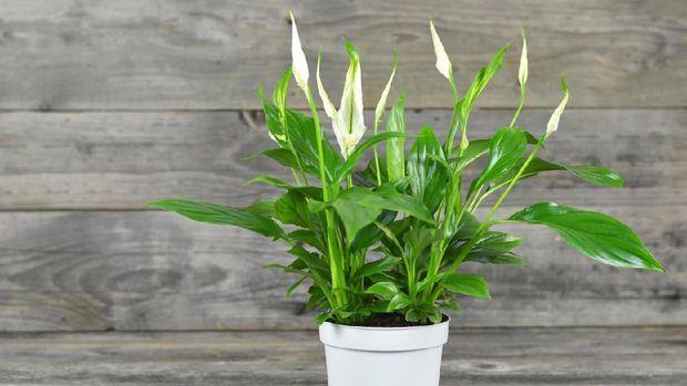 Spathe flower in flowerpot on wooden background