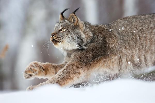 Lynx yang dikenal sebagai kucing hutan ini awalnya diidentifikasi pada abad ke-19 di selatan Prancis, Portugal, dan Spanyol. (iStock)