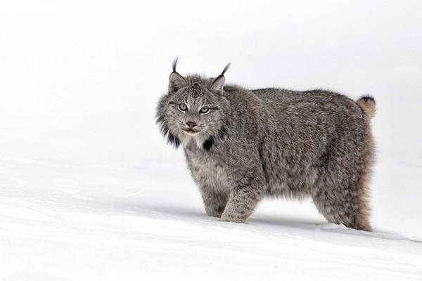Meski terlihat sangat lucu, tapi jangan sekali-kali berdekatan dengan lynx yang termasuk predator. Lynx memiliki tubuh yang lebih besar dari kucing biasa. (iStock)