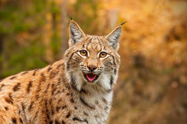 Kalau kucing biasa punya bulu yang berwarna-warni, lynx lebih mirip macan. Bulu coklat atau abu-abu dengan totol-totol hitam membuat kucing berjenggot ini semakin garang. (iStock)