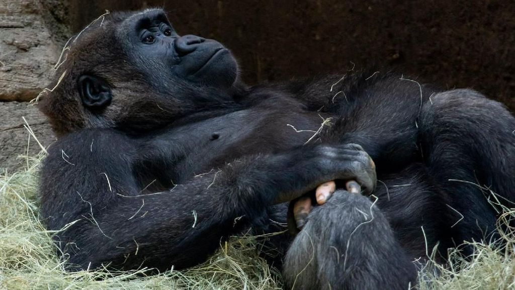 Jari Tangan Gorila Ini Mirip Manusia