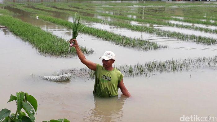 Petani mengaku rugi karena tanaman miliknya dipastikan mati membusuk dan tidak bisa dipanen.