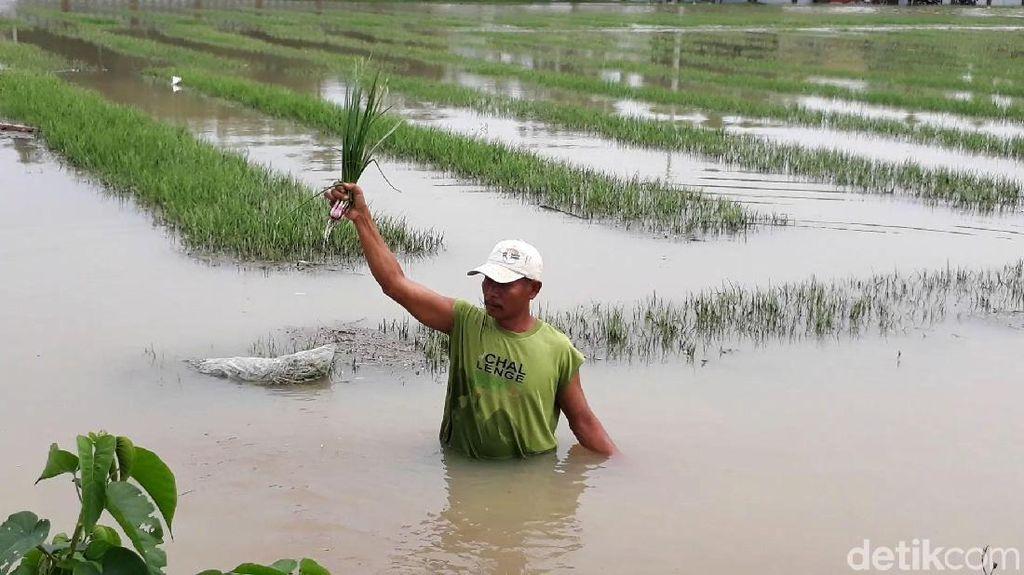 Tanaman Bawang di Brebes Gagal Panen Akibat Banjir