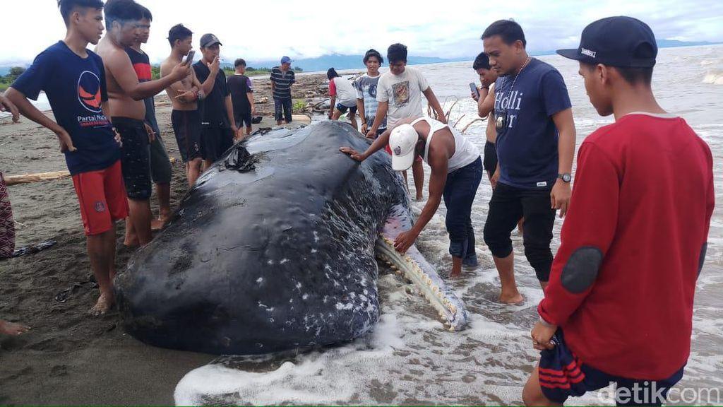 Paus Ukuran 9 Meter Ditemukan Mati Terdampar di Perairan Mamuju Sulbar