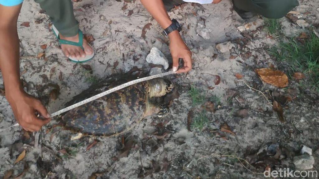 2 Penyu Mati Diduga Kena Kail, BKSDA Ingatkan Nelayan Pangandaran