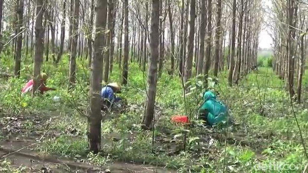 Hutan Musim di Indonesia : Arti, Ciri Khas dan Persebarannya
