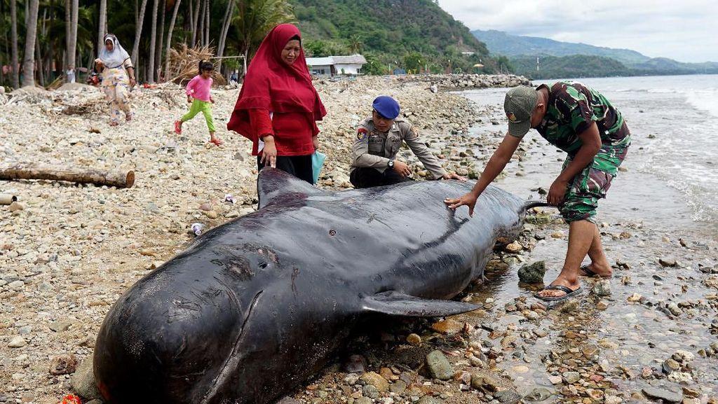 Bangkai Paus Pilot Terdampar di Gorontalo