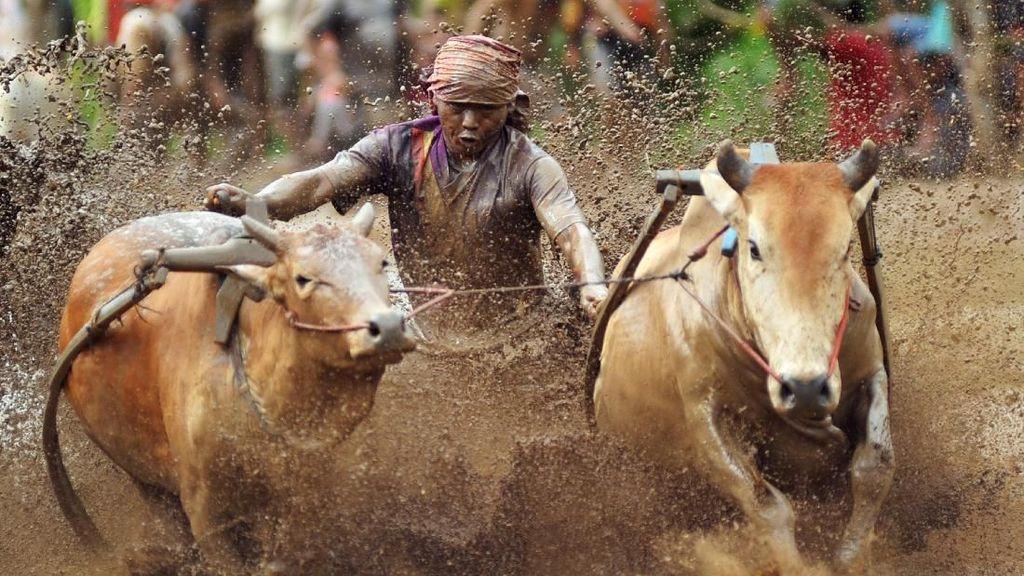 Melihat Serunya Pacu Jawi di Sumatera Barat