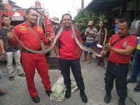 Ular Piton 2,5 Meter Tiba-tiba Muncul di Plafon Rumah Warga Medan