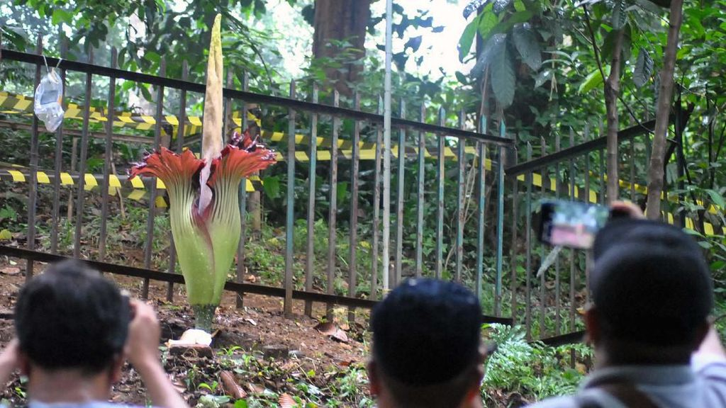 Bunga Bangkai di Kebun Raya Bogor Mekar Sempurna