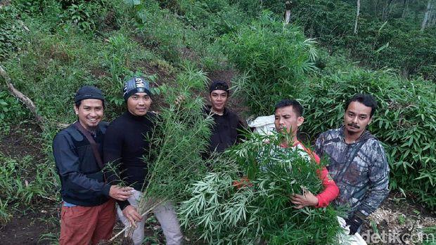 Polisi Ungkap Ladang Ganja Satu Hektare di Bengkulu