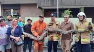 Petugas Damkar Tangkap Ular Sanca 6 Meter di Rumah Warga Jaksel