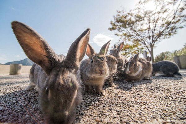 Sejak pembuatan gas beracun ini, ratusan kelinci didatangkan sebagai percobaan. (iStock)