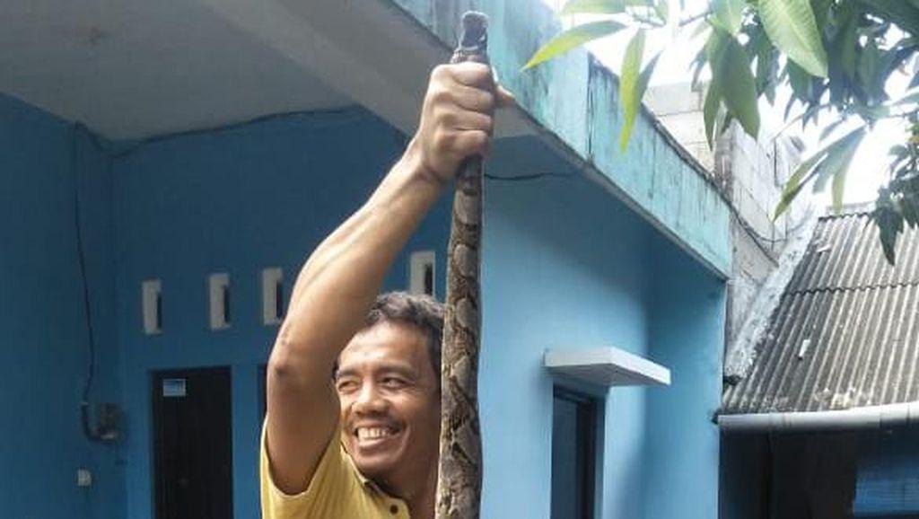 Mak Jegagik! Ular Piton 3 Meter Muncul di Gorong-gorong Semarang