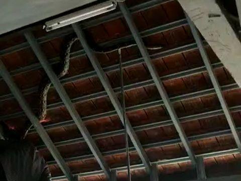 Ngagetin! Ular Piton 4 Meter Nangkring di Atap Politeknik Negeri Bali