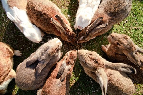 Banyak yang menyatakan bahwa kelinci percobaan senjata kimia sudah dibunuh oleh tentara Jepang. Ada yang percaya bahwa kelinci-kelinci ini dibebaskan oleh tentara pada akhir perang. (iStock)
