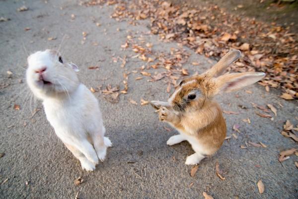 Pulau Okunishima tak begitu saja jadi habitat kelinci-kelinci ini. Kedatangan kelinci ke pulau ini berkaitan erat dengan sejarah kelam yang dialami oleh Pulau Okunoshima. (iStock)
