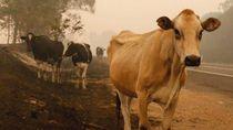 Ratusan Ribu Ternak Australia Terpanggang Matang Akibat Kebakaran Hutan